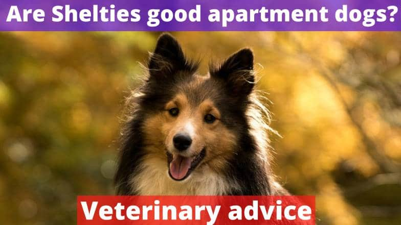 Are Shelties good apartment dogs