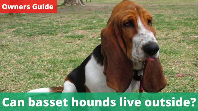 Can basset hounds live outside