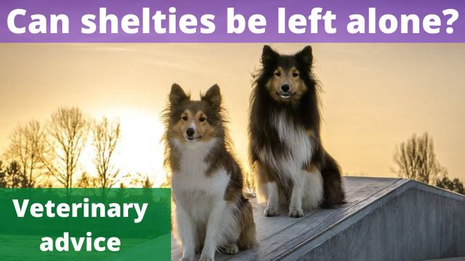 Can shelties be left alone
