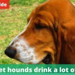 Do basset hounds drink a lot of water? [Owners guide]
