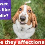 Do basset hounds like to cuddle? [Are they affectionate?]