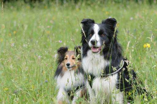 a sheltie with other dog