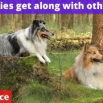 Do shelties get along with other dogs? [Vet advice]