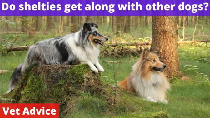 Do shelties get along with other dogs