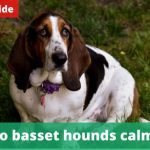 When do basset hounds calm down? [Owners guide]