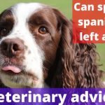 Can springer spaniels be left alone? [Vet advise]