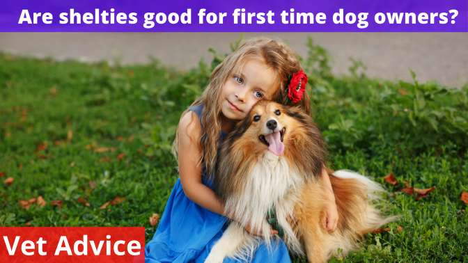 Are shelties good for first time dog owners