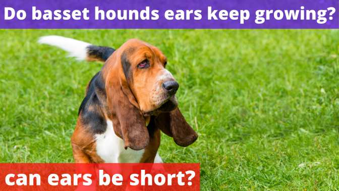 Do basset hounds ears keep growing