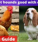 Are Basset hounds good with chickens? [Owners Guide]