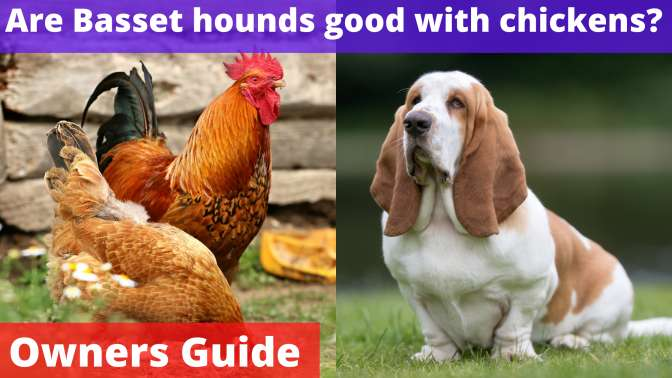 Are Basset hounds good with chickens