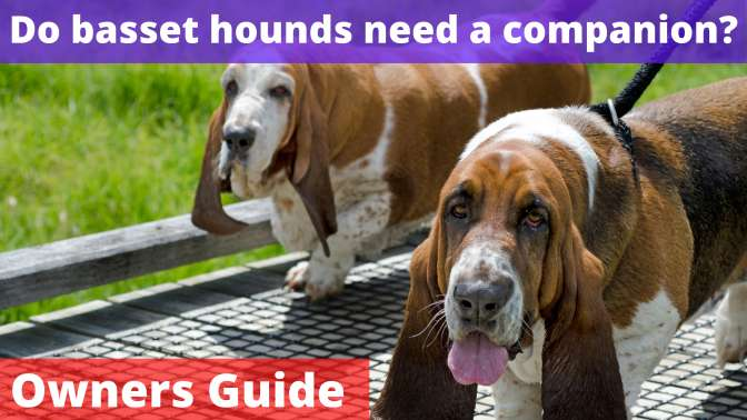 Do basset hounds need a companion