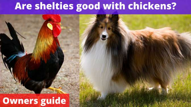 Are shelties good with chickens