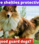 Are shelties protective? [Are they good guard dogs?]