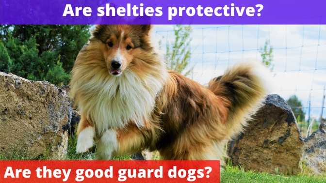 Are shelties protective