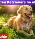 Can Golden Retrievers be off leash? [Owners Guide]