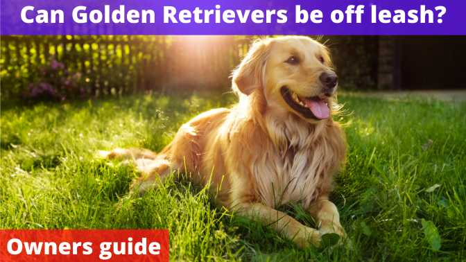 Can Golden Retrievers be off leash