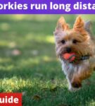 Can yorkies run long distances? [Owners Guide]