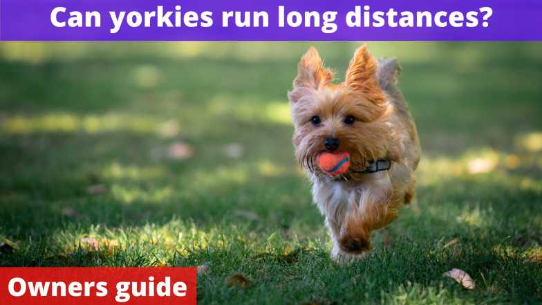 Can yorkies run long distances