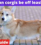 Can corgis be off leash? [Owners Guide]