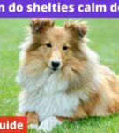When do shelties calm down? [Owners guide]