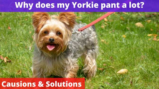 Why does my Yorkie pant a lot