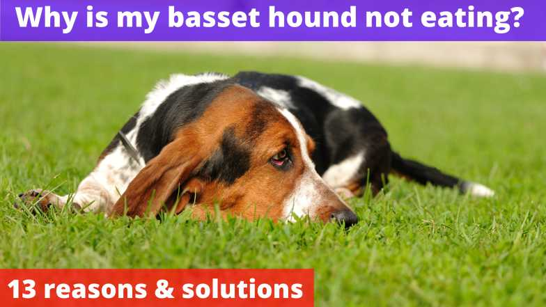 Why is my basset hound not eating