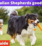 Are Australian Shepherds good off leash? [Owners Guide]