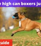 How high can boxers jump? [Owners guide]