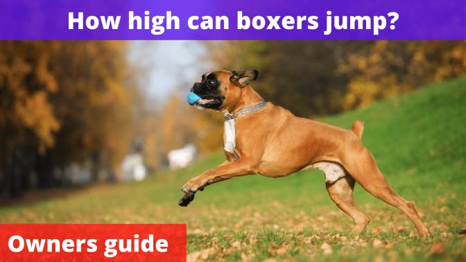 How high can boxers jump