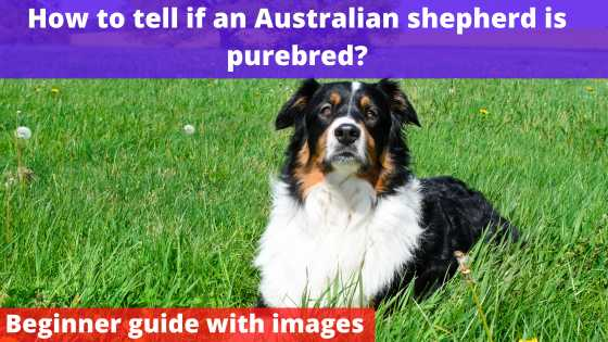 How to tell if an Australian shepherd is purebred