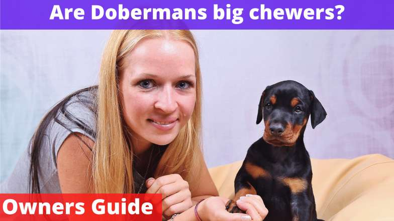 Are Dobermans big chewers