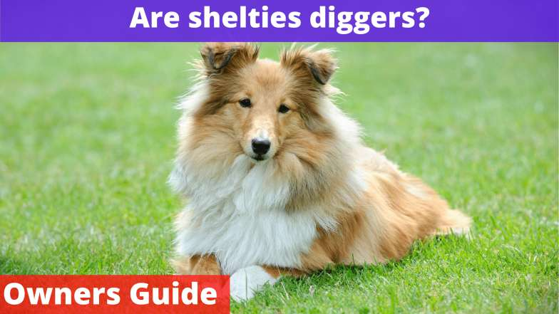 Are shelties diggers