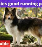 Are shelties good running partners? [Owners Guide]