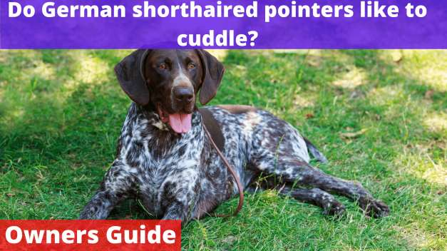 Do German shorthaired pointers like to cuddle