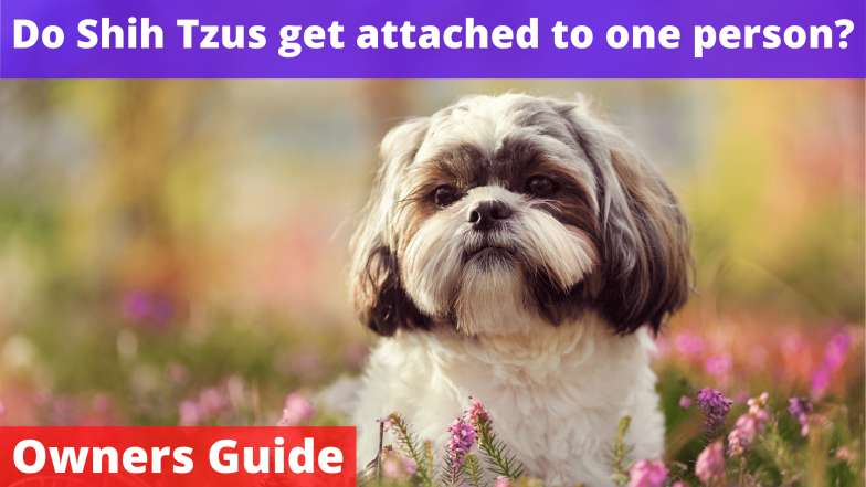 Do Shih Tzus get attached to one person