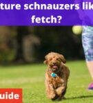 Do Miniature Schnauzers like to play fetch? [Owners Guide]