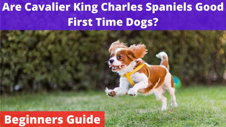 Are-Cavalier-King-Charles-Spaniels-Good-First-Time-Dogs