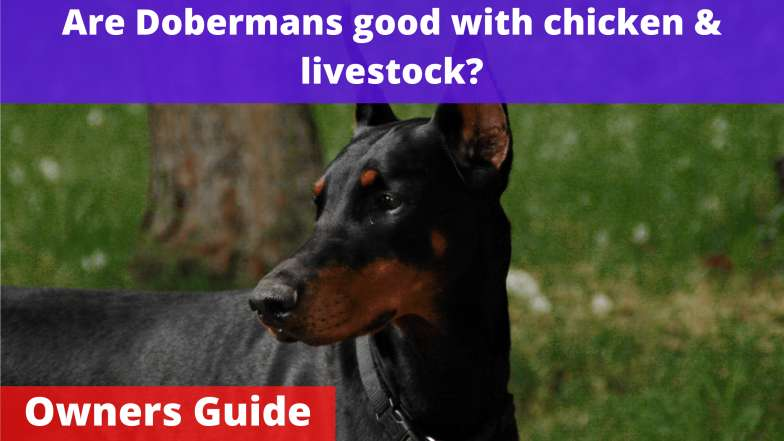Are Dobermans good with chicken & livestock