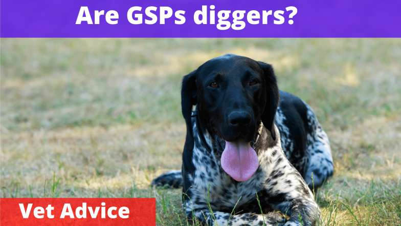 Are german shorthaired pointers diggers