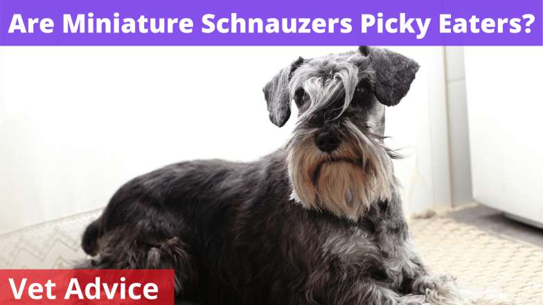Are Miniature Schnauzers Picky Eaters