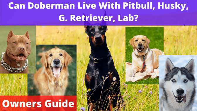 Can Doberman Live With