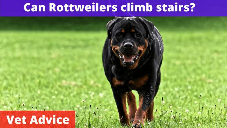 Can Rottweilers climb stairs
