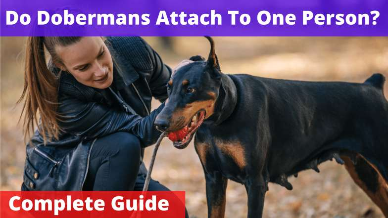 Do Dobermans Attach To One Person