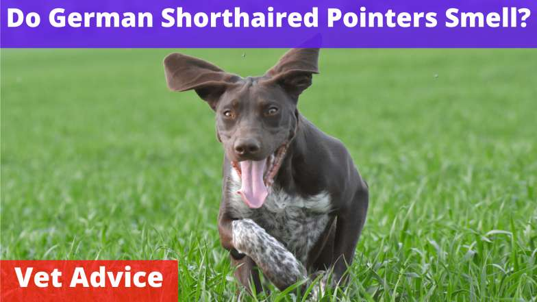 Do German Shorthaired Pointers Smell