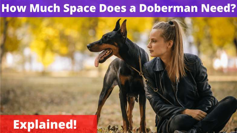 How Much Space Does a Doberman Need