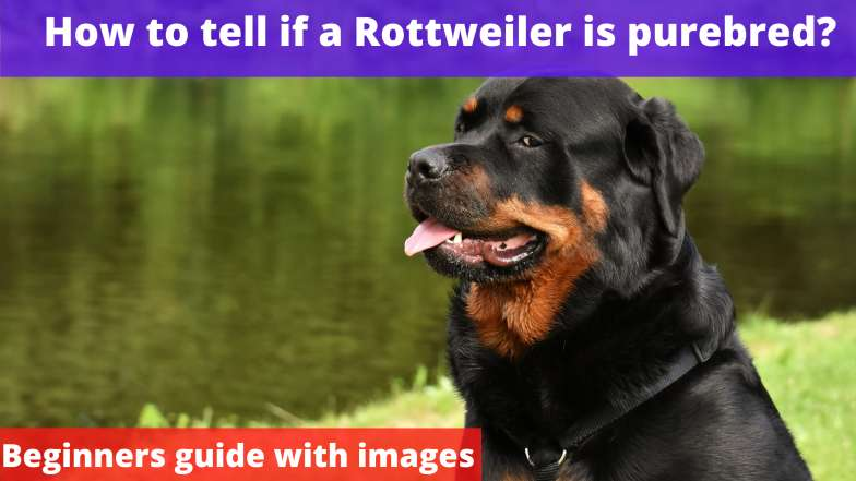 How to tell if a Rottweiler is purebred