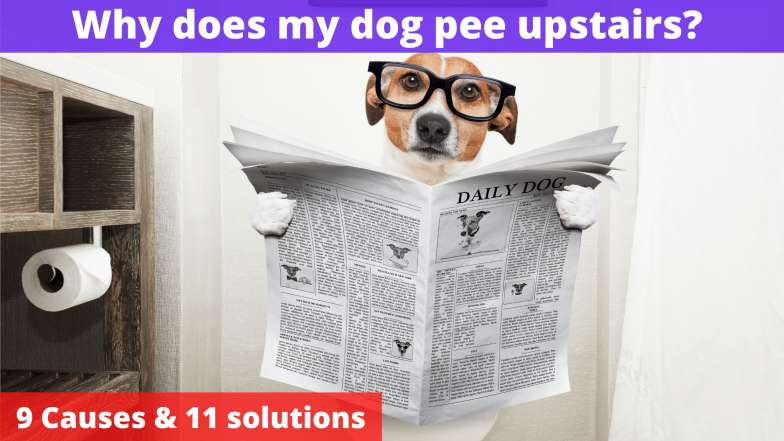 Why does my dog pee upstairs