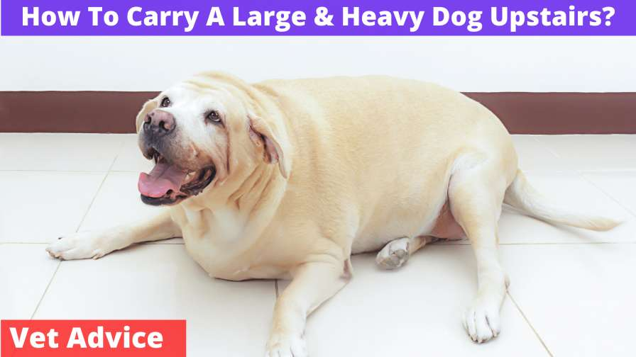 How To Carry A Large & Heavy Dog Upstairs