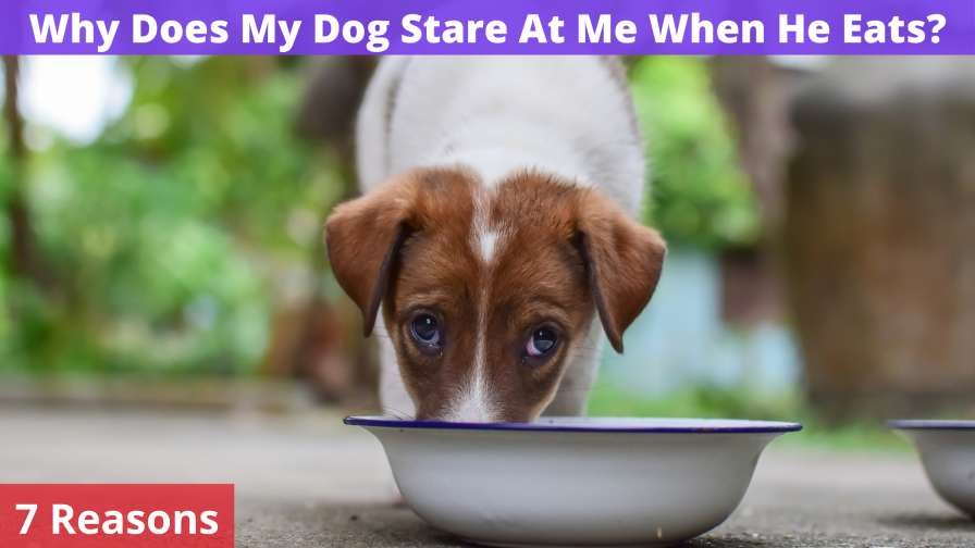 Why Does My Dog Stare At Me When He Eats