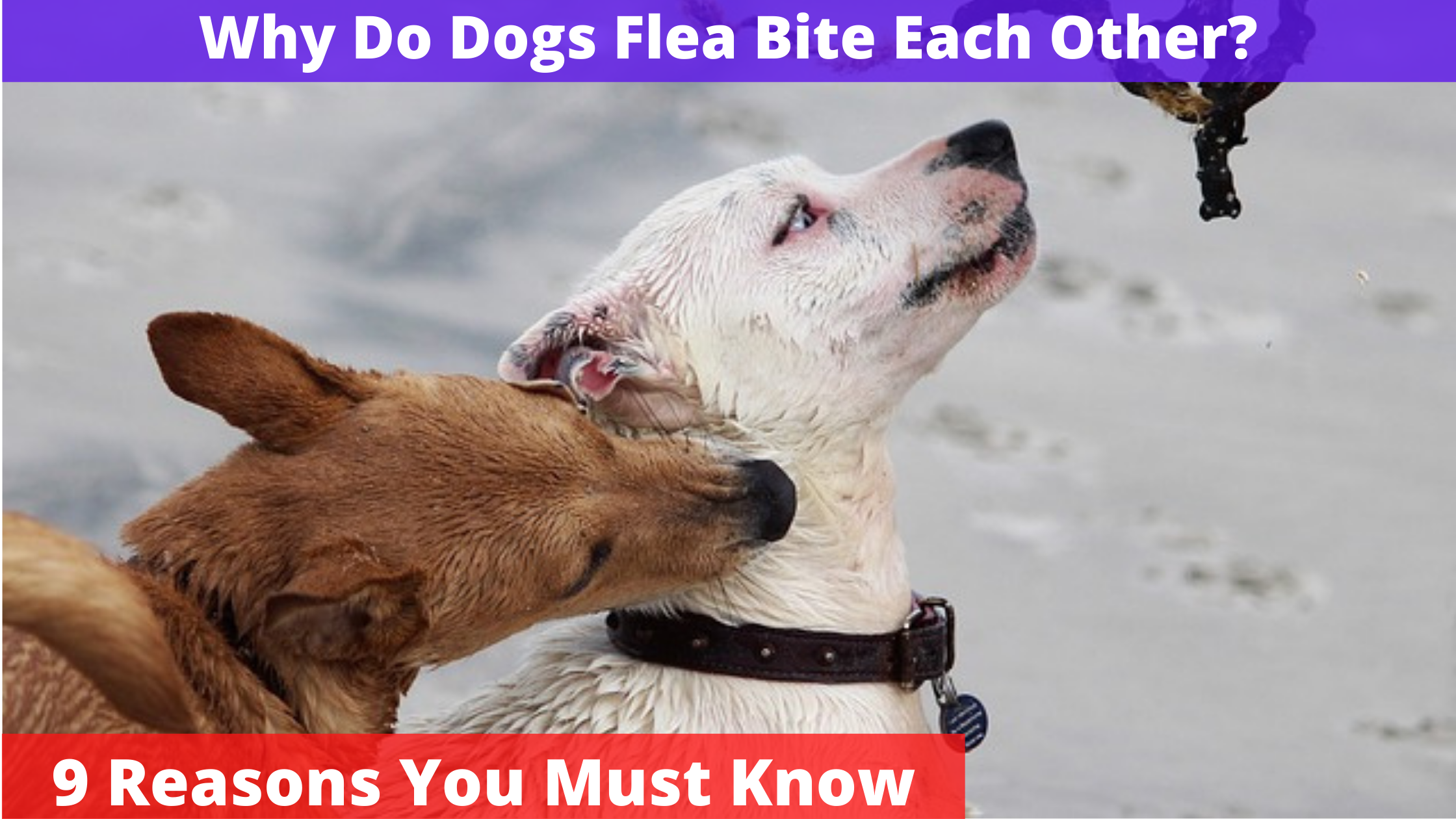 Why Do Dogs Flea Bite Each Other
